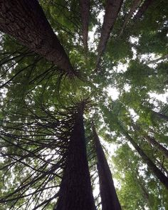 Explore The Redwoods in Beech Forest on your way to Best Western Apollo Bay  #bestwesternapollobay #apollobay #local #explore #greatoceanroad #travel #australia #victoria #redwood #trees #bush #forest by bestwesternapollobay http://ift.tt/1LQi8GE