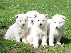 White German Shepherds Puppies
