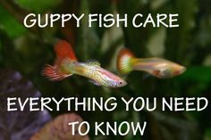Thinking of getting a guppy fish? Learn everything you need to know: http://stickpets.com/blog/guppy-care-everything-you-need-to-know #guppies #fish #stickpets
