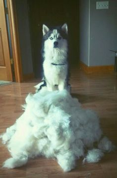 So you want to get a Siberian Husky?
