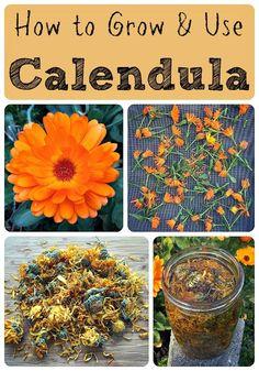 How to Grow and Use Calendula