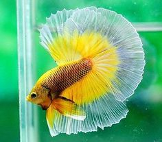 Live Betta Fish IMPORTED RARE TRI-Band 3x BUTTERFLY Over-Halfmoon Male