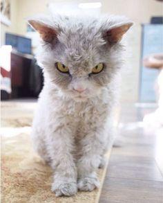 【画像】おそらく世界一の怒り顔を持った猫のアルバート君