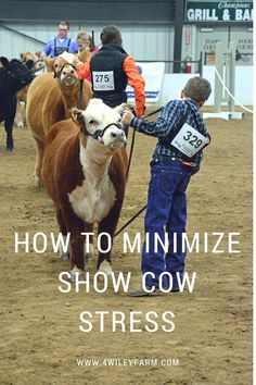 The stock show circuit can be very stressful on cows. Here are a few tricks and strategies to keep your cows eating, drinking and feeling their best for the show. Hereford Cattle, Cattle Barn, Show Cattle, Beef Cattle, Mini Hereford, Livestock Judging, Livestock Farming, Showing Livestock, Miniature Cow Breeds