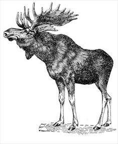 Google Image Result for http://bestclipartblog.com/clipart-pics/moose-clipart-4.jpg