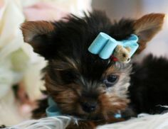 Jefferson the Teacup Yorkie Puppy For Sale #teacup #puppy #dog #yorkie #forsale #cute