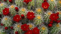 Cactus-Flowers-Wallpapers.jpg (1920×1080)