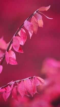Leaves in Raspberry Fuchsia Pink Bright Pink, Red And Pink, Pretty In Pink, Hot Pink, Vintage Pink, Magenta, Raspberry Color, Raspberry Sorbet, Pastel Roses