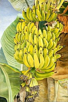 """""""Bananas"""" by British artist Lucian Freud Oil on canvas Painting Banana, Fruit Painting, Figure Painting, Painting & Drawing, Watercolor Paintings, Tree Illustration, Illustrations, Lucian Freud Paintings, Banana Art"""