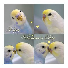 budgies and their chirping!