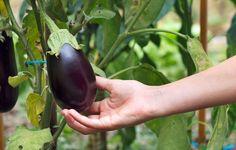 Aprenda como plantar berinjela na horta ou em vaso. Eggplant Plant, Growing Eggplant, Chinese Eggplant, Growing Ginger, Thing 1, Grow Organic, Organic Gardening Tips, Garden Pests, Organic Vegetables