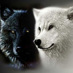 "A #Native #American #grandfather was talking to his #grandson about how he #felt.  He said, ""I #feel as if I have two wolves #fighting in my #heart.  One wolf is the #vengeful, #angry, #violent one. The other wolf is the #loving, compassionate one."""