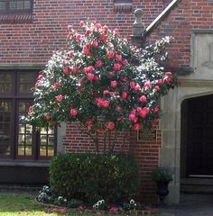 Camellia bush/tree. (Partial shade. Prefers acidic soil that's been mixed with pine bark.)