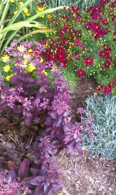 July 17: Sedum 'Purple Emperor' (stonecrop), Coreopsis verticillata 'Zagreb'  (threadleaf coreopsis), Coreopsis 'Red Satin' (tickseed), Dianthus 'Maraschino Cherry' (pinks) (out of bloom)