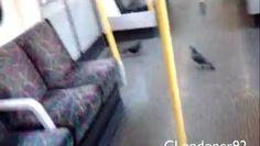 Pigeons flying inside London Underground train #tfl #underground #londonunderground #caughtoncamera #transportforlondon #cstock #pigeon #pigeons #bird #birds #interior #video #london London Underground Train, London Transport, Pigeon, Birds, Interior, Indoor, Bird, Interiors
