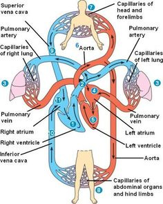 The heart goes through the pulmonary circuit, which brings deoxygenated blood to the lungs for oxygenation. It also goes through the systemic circuit, which brings oxygenated blood to the other organs in the body, including the heart itself. The left side of the heart pumps blood to the systemic circle, and the right side of the heart pumps blood to the pulmonary circuit.