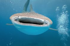 Diving with Whale Sharks in the Philippines