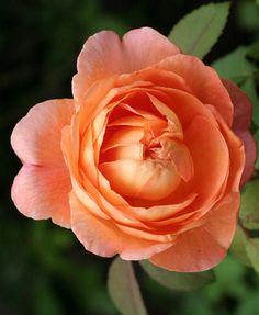 'Lady Emma Hamilton'    Shrub.  English Rose Collection. Bred by David C. H. Austin (United Kingdom, 2005)   Flickr - © kazz17