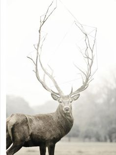 Stag of many branches