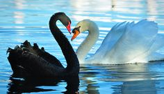 Swan Showdown by Claudia Marlene on flickr
