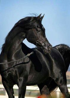 Beautiful shiny Black Arabian Horse #arabianhorses Black Arabian Horse, Beautiful Arabian Horses, Most Beautiful Horses, Majestic Horse, Black Horses, Wild Horses, Animals Beautiful, Cute Horses, Pretty Horses