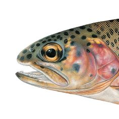 of North America Poster McCloud River Redband Trout. Illustrated and © by Joseph R. Illustrated and © by Joseph R. Deep Sea Fishing, Fly Fishing, Fishing Lures, Saltwater Fishing, Fishing Knots, Fishing Reels, Fishing Shirts, Fishing Bobbers, Fishing Spoons
