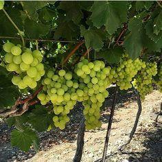 Waiting for #harvest#love #20likes #Doraagri #agriculture #grape #beautiful #agri #agro