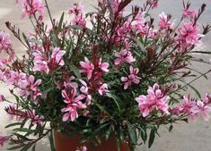 gaura plant - one of my favorite outdoor plants. and comes back every year bigger sp pretty! Flower Pots, Pink Flowers, Gaura, Flowers, Beautiful Roses, Perennials, Plants, Planting Flowers, Drought Tolerant Perennials