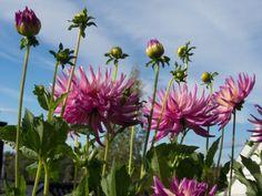Hvordan og hvorfor fordrive georginer / dahlia Plants, Outdoors, Gardening, Lawn And Garden, Plant, Outdoor Rooms, Off Grid, Outdoor, Planets