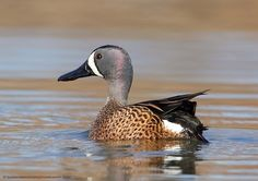Photograph Blue-winged Teal by Danny Brown on 500px Danny Brown, Blue Winged Teal, Blue Wings, Hunting, Photograph, Photography, Photographs, Fighter Jets, Fotografia