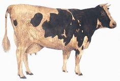 Cow (1963) Photography by Jason Dewey