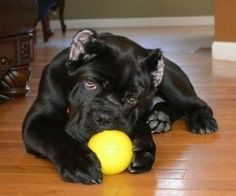 Cane Corso Puppy Cane Corso Dog Breed, Cane Corso Breeders, Cane Corso Italian Mastiff, Cane Corso Mastiff, Cane Corso Puppies, Baby Puppies, Dogs And Puppies, Aussie Puppies, Doggies