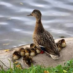 ❤️️Mother and Baby Ducks ~ Duck Keeping watch over her sleeping Ducklings