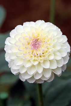 "Dahlia ""Snow Garden"" My father, Chester Ault, is the King of Dahlias!"