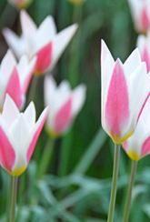 Tulip - Clusiana Lady Jane - Bulbs