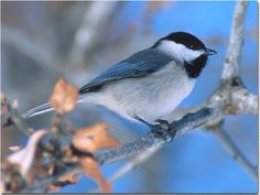 Carolina chickadees are adorable.  There are even more of them around here than there are cardinals, and they are so curious.  They like to check out everything and are always the first at a new feeder.