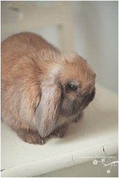 11 week old Holland Lop Bunny Mini Lop Bunnies, Holland Lop Bunnies, Bunny Rabbits, Funny Bunnies, Cute Bunny, Fluffy Pets, Fluffy Bunny, Fluffy Animals, Pretty Animals