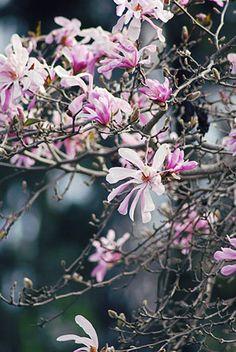 Magnolia 'Leonard Messel' I Zetas Trädgård
