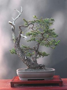 Split bonsai. I really love the look of Bonsai trees. Please check out my website thanks. www.photopix.co.nz