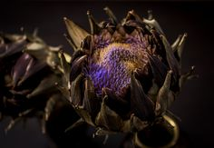 https://flic.kr/p/yAm2Sc | Artichoke opening up in our vase. | For strobist. Camera shooting on aperture priority and a flash sb900 on the left pointing at ceiling and a flash sb910 on the right pointing at ceiling as fill on the ambient light. Triggerd by cls. In camera flash settings on manual.