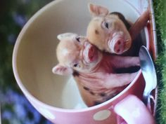 Teacup piglets I think I want one :) I wish my husband would let me have one in the house as a pet cuz I would