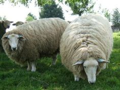 Romney sheep ~ would love to spin their luxurious fiber!