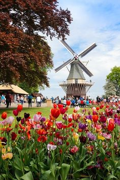 There are many places to view Tulips In The Netherlands, which is why we wanted to share the top places with you! Keukenhof is the top location but cycling past tulip fields give you a truly beautiful experience too! European Destination, European Travel, Europe Travel Guide, Travel Destinations, Traveling Europe, Travel Guides, Windmills In Amsterdam, Best Location, Cool Places To Visit