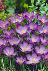 Crocus Ruby Giant- For pollinators