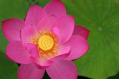 Lotus Flower, via Flickr.