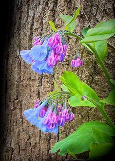 Bluebells, Roosevelt Island, Washington DC