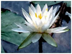 Close Up White Lotus Flower