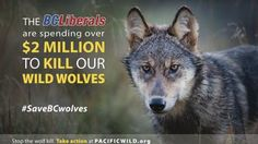 Save B.C. Wolves ! PLEASE SIGN ! ! - Care2 News Network