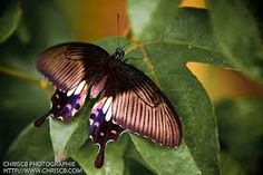 thailand butterflies photos - Google Search