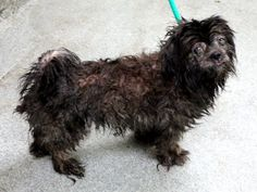 SAFE 6-8-2015 by Little Feet Big Heart Rescue --- Manhattan Center DIVARIA – A1038334 FEMALE, BLACK, SHIH TZU MIX, 6 yrs STRAY – STRAY WAIT, NO HOLD Reason STRAY Intake condition EXAM REQ Intake Date 06/01/2015